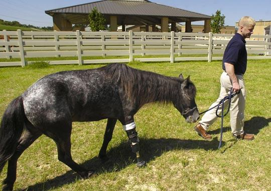 molly pony with prothesis Six years ago, molly the pony turned the world upside down on by wearing a strap-on prosthetic on her amputated limb if she read the newspaper this week, the peg-leg.